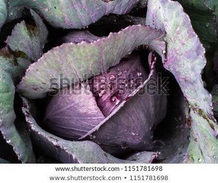 lila · káposzta · zöldség · tál - stock fotó © stoonn
