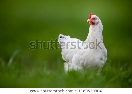 Hen in a farmyard (Gallus gallus domesticus) stock photo © lightpoet