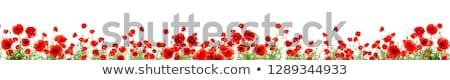 Vermelho papoula flores buquê isolado branco Foto stock © neirfy