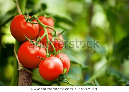 Organik domates bitki kırmızı meyve akşam Stok fotoğraf © artlens