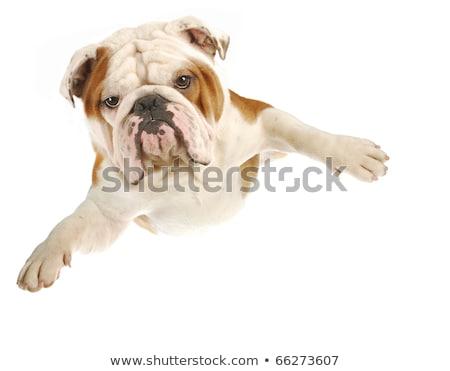 English Bulldog leaping. Stock photo © iofoto
