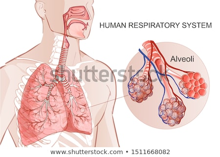 Alveoli anatomy as a part of respiratory system Stock photo © Tefi