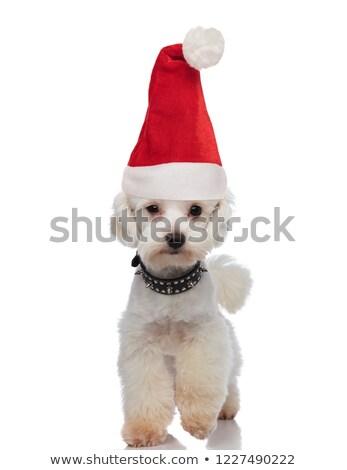cute santa bichon wearing a collar stepping forward Stock photo © feedough