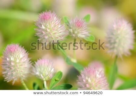 trifolium arvense on white stock photo © agfoto