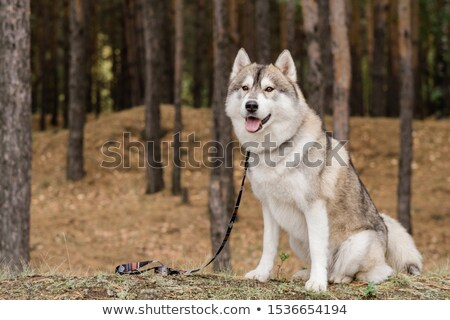 Cute purebred dog with leash waiting for his master while sitting in the forest Stock photo © pressmaster