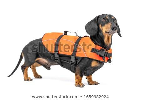 Retrato bonitinho bassê cachorro laranja roupa Foto stock © vauvau