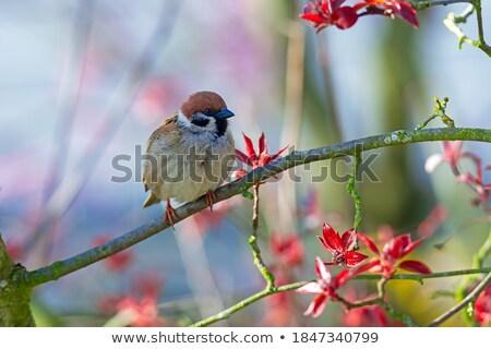 スズメ 鳥 座って ツリー クローズアップ 自然 ストックフォト © manfredxy