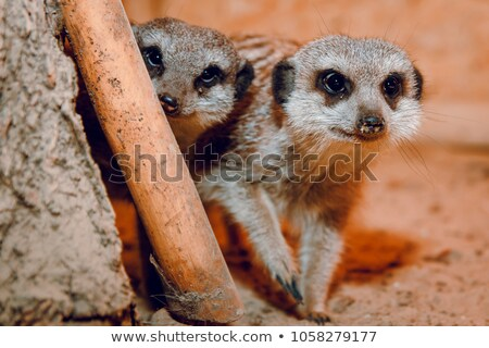 meerkats playing stock photo © franky242