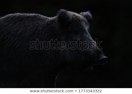 wild boar portrait Stock photo © prill