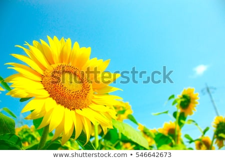 Stock photo: views of sunflower and green meadow in blue sky