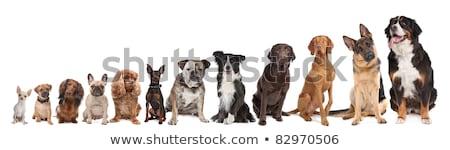 混合した · ミニチュア · 犬 · 白 · 背景 - ストックフォト © eriklam
