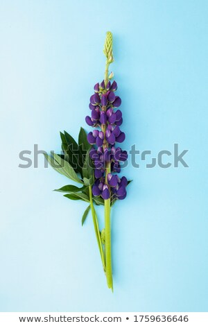 Wild Lupines Stock photo © Stocksnapper