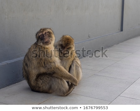 A nice couple of macaques Stock photo © Beaust