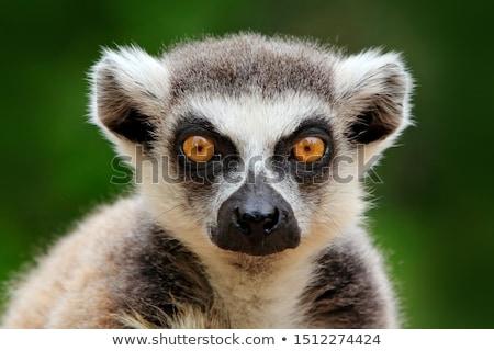 Lemur portrait Stock photo © Beaust