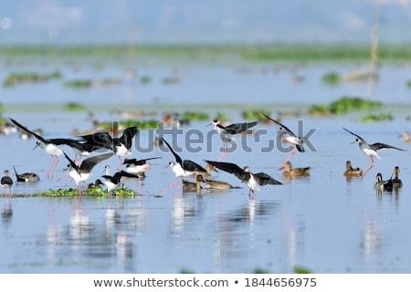 ördek portre su yaz kuşlar hayvan Stok fotoğraf © joker