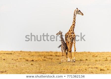 twee · giraffen · afrikaanse · savanne · lopen · groene - stockfoto © gbuglok
