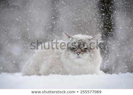 Gri kedi kar beyaz kış Stok fotoğraf © samsem