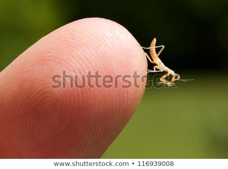 Praying Mantis (Mantodea) Nymphs Stock photo © gabes1976