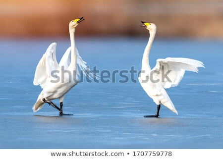 Swan on the ice Stock photo © nature78
