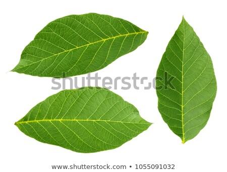 walnuts with leaves stock photo © masha