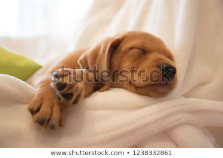 Selective Focus on Sleeping Puppy Stock photo © Gordo25