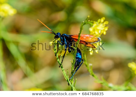 Tarantula Hawk Spider Wasp on Flower Stock photo © rhamm