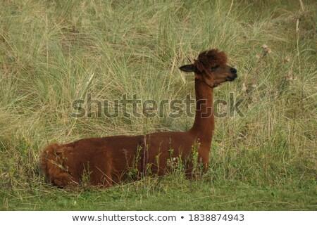 Bruin lama gras boeren veld Stockfoto © rhamm