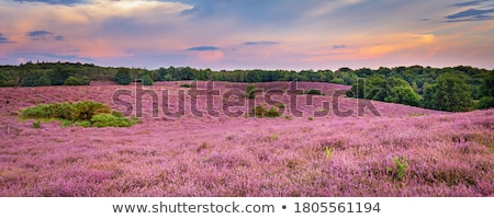Heather landscape Stock photo © ivonnewierink