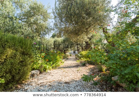 Zeytin imzalamak Kudüs İsrail şehir bahçe Stok fotoğraf © AndreyKr