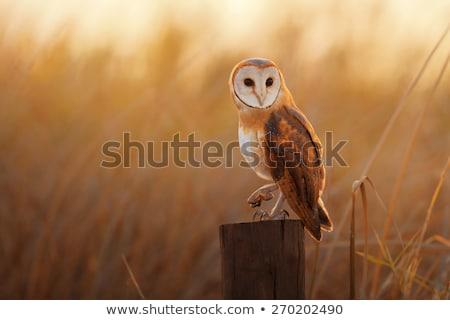 celeiro · coruja · parede · de · tijolos · pássaro · pena · retrato - foto stock © dirkr