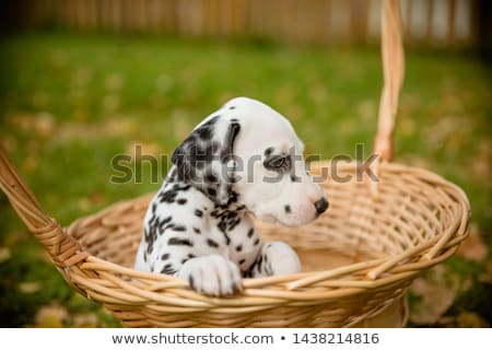 cute Dalmatian in a park Stock photo © lightpoet