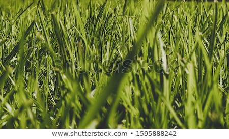Gazon ferme herbe atteindre Australie lignes Photo stock © lovleah