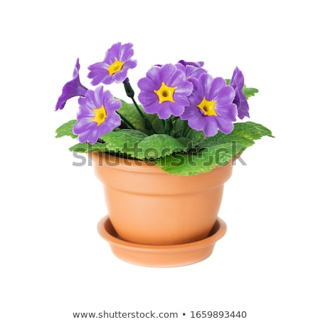 Blossoming violets in flower pot - isolated on white background Stock photo © inxti