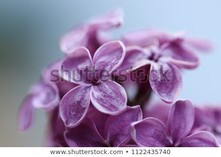 Violet orchid flower bloom in sunny day Stock photo © nalinratphi