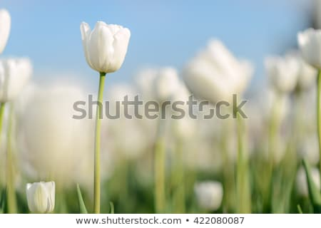 close up of sunny tulip flower meadow and sky stock photo © nelosa