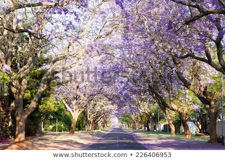 Straat scène bomen bloeien zuiden Stockfoto © avdveen