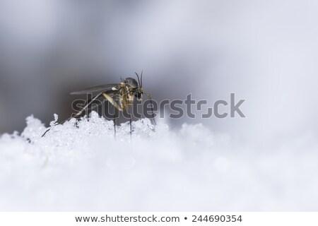 Buz sivrisinek doğa kar çalışma park Stok fotoğraf © t3rmiit