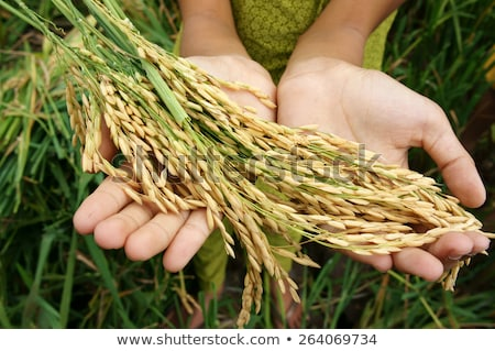 World Food Security Famine Asia Rice Field Foto stock © xuanhuongho