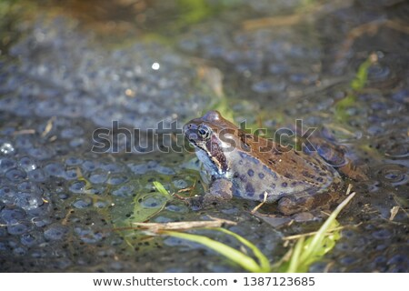 Rana Temporaria frog in the grass Stock photo © Sportactive