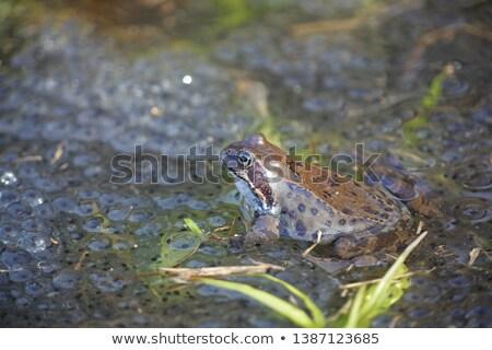 Rana Temporaria frog in the grass stock photo © Sportactive
