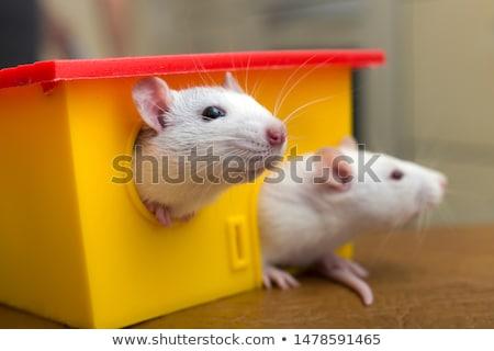 evcil · hayvan · sıçan · beyaz · uzun · kuyruk · pembe - stok fotoğraf © fouroaks