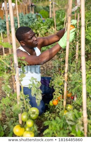 agriculteur · toxique · légumes · jardin · homme · santé - photo stock © stevanovicigor