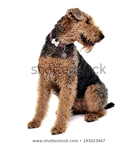 Airdale Terrier is looking up in the studio stock photo © vauvau