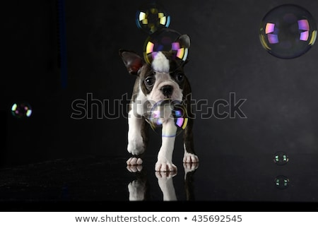 Stock photo: Puppy Boston Terrier plays with bubbles in photo studio