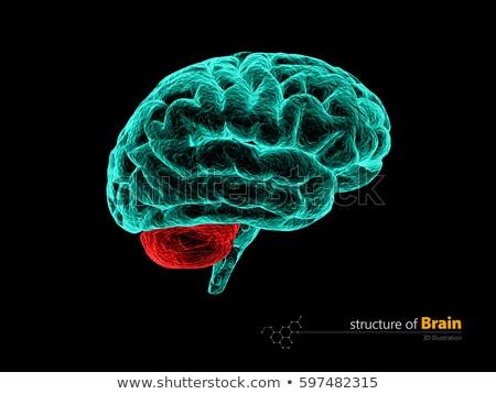 Human brain, cerebelum, anatomy structure. Human brain anatomy 3d illustration. Stock photo © tussik