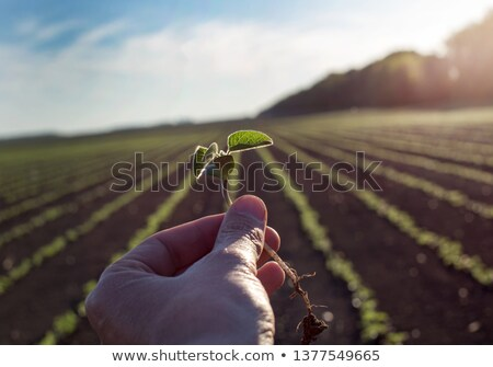 Közelkép szójabab növény mező megművelt mezőgazdasági Stock fotó © stevanovicigor