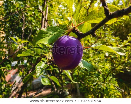 One ripe red plum with stalk Stock photo © sarahdoow
