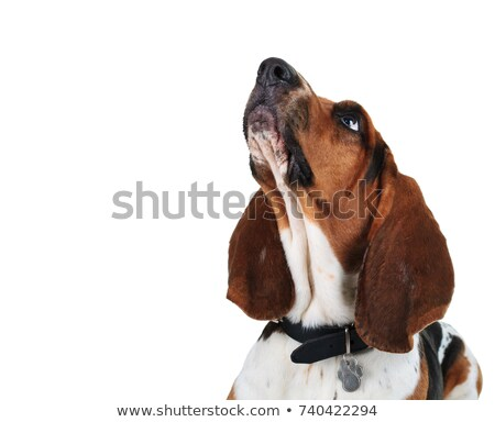 closeup picture of a basset hounds head looking up stock photo © feedough