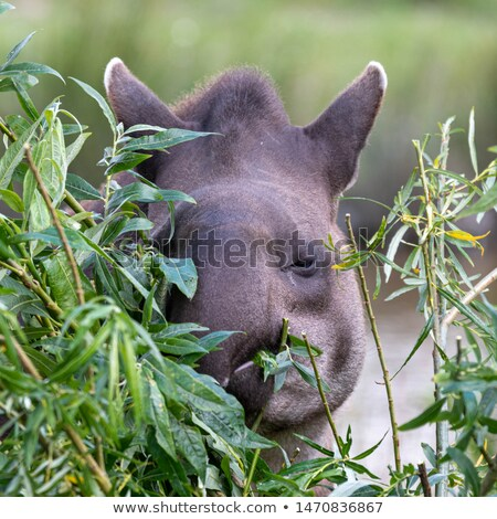 Tapir Eating Food Stock photo © THP