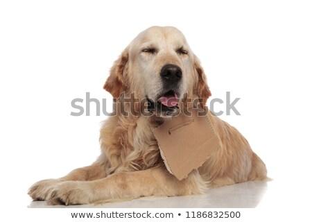 adorable panting labrador with carton sign around neck lying Stock photo © feedough